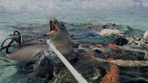 foca enredada en plástico
